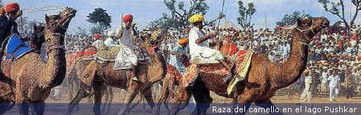 camel-race--at-pushkar_sp